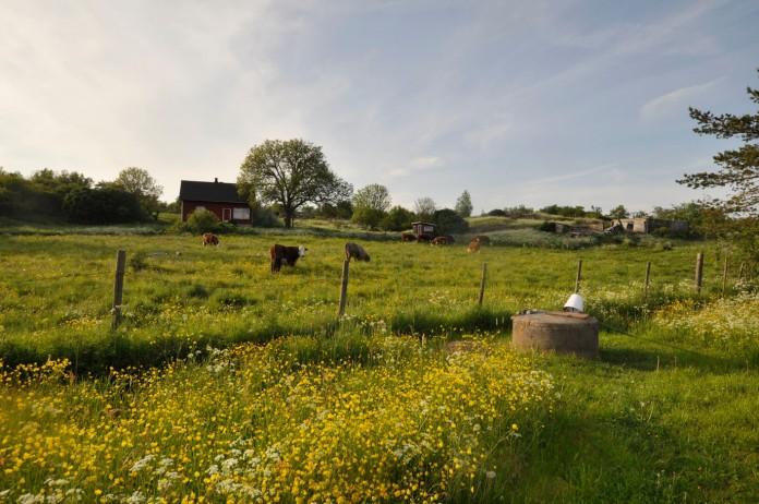 Kuhherde und Blumenwiese