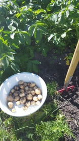kartoffeln-ernten