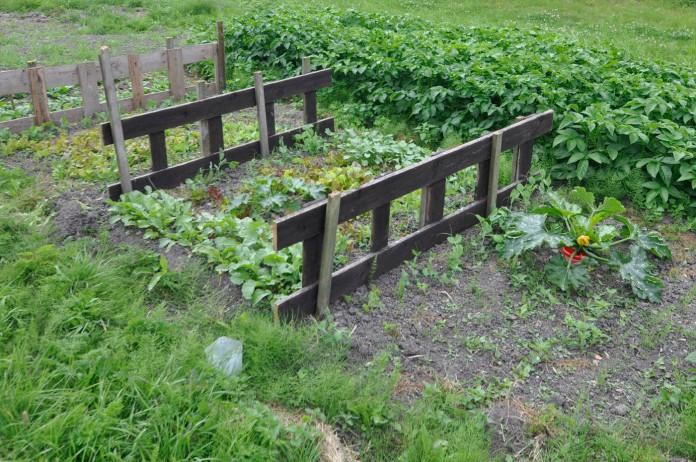 gemuesegarten-mitte-juli-1