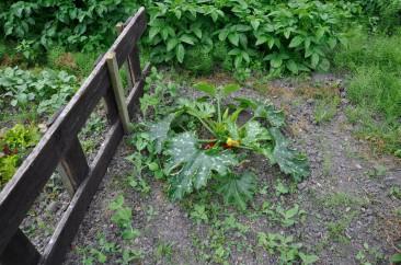 gemuesegarten-mitte-juli-2