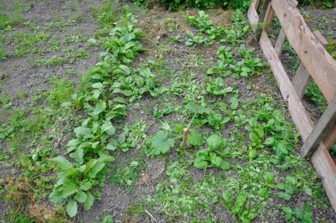 gemuesegarten-mitte-juli-5