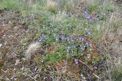 17-05-15 _ Wildes Stiefmuetterchen - Viola tricolor