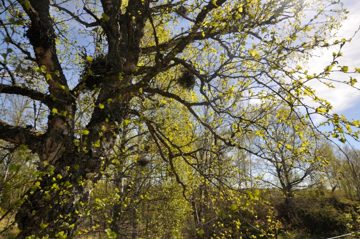 17-05-22 _ Gruenende Birke