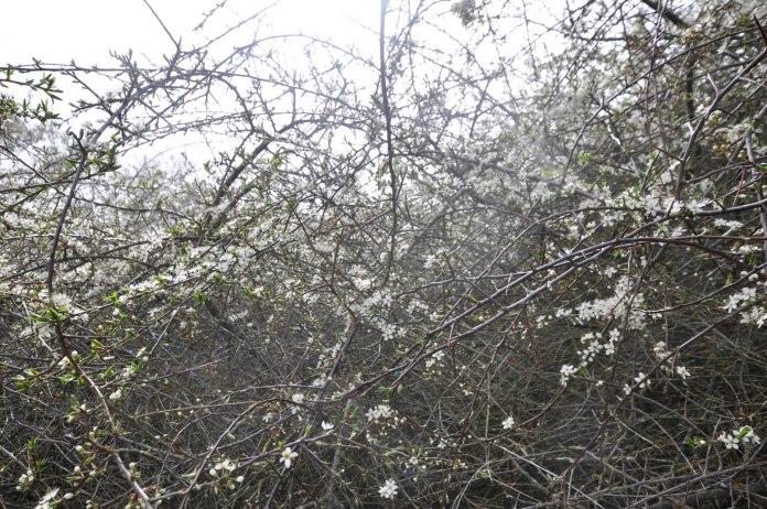 17-05-25 _ Schlehe - Prunus spinosa