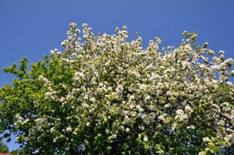 17-06-15 _ Bluehender Apfelbaum