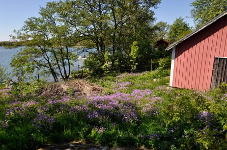 17-06-15 _ Wald-Storchschnabel - Geranium sylvaticum 1