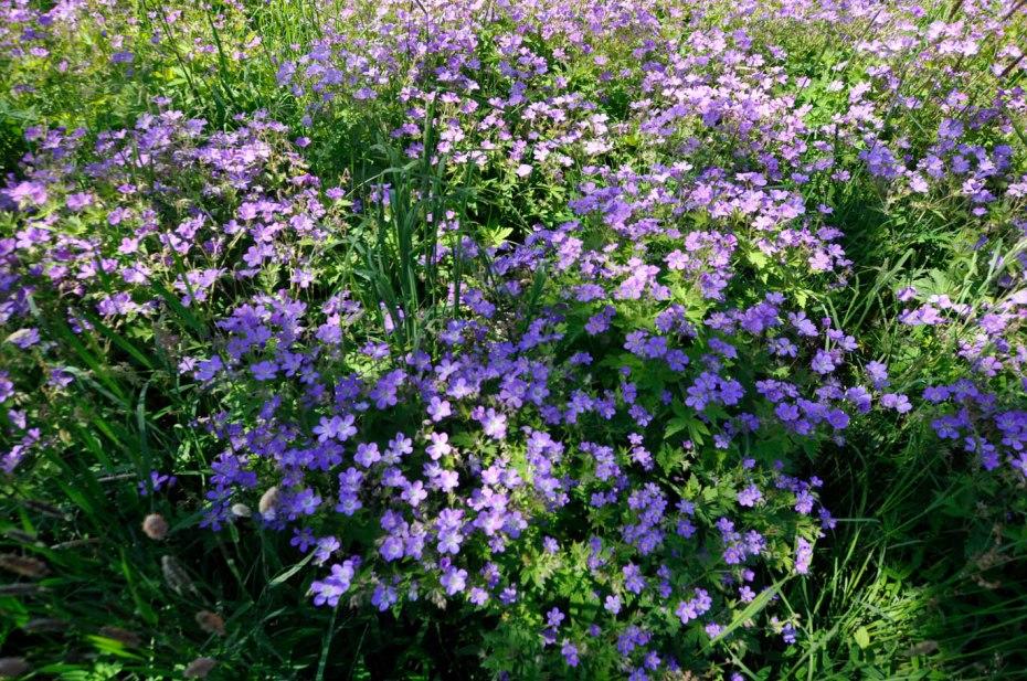 17-06-15 _ Wald-Storchschnabel - Geranium sylvaticum 2