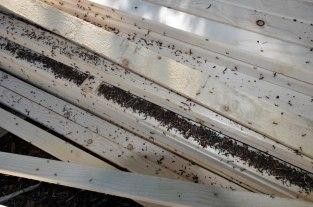 Ameisenhaufen in Bretterstapel 3